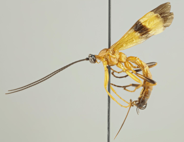 A newly-discovered member of the Acrotaphus wasp family (Image: Kari Kaunisto)