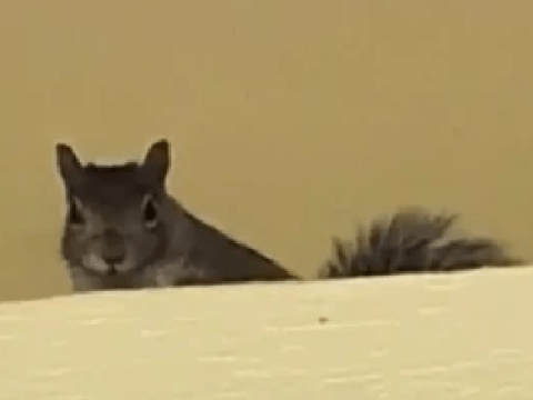 Family terrorized by aggressive squirrels that are destroying their condo