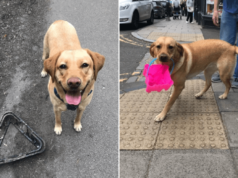 Molly the Labrador picks up hundreds of pieces of litter each day to clean her local beach
