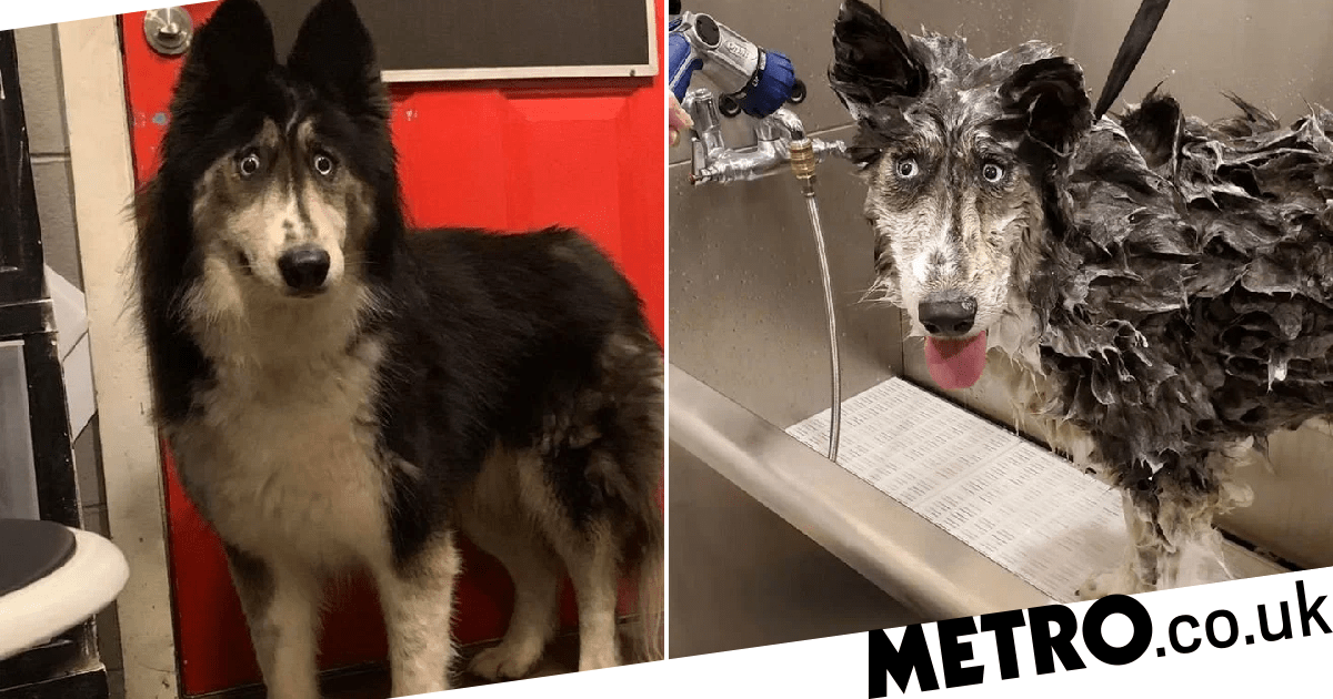 Husky abandoned for looking 'weird' finally finds a home