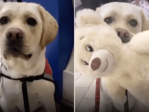 Service dog goes on his first trip to Build-A-Bear and it's adorable