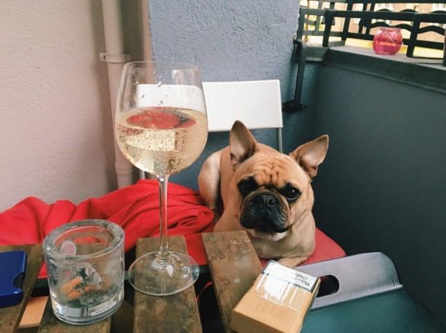 french bulldog sitting next to glass of wine