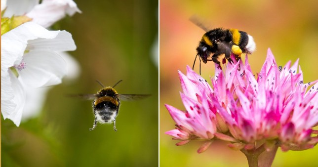 Bumblebees at threat of going extinct