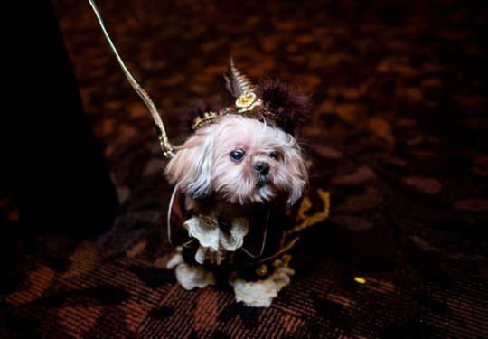 A dog dressed in costume for the 17th annual New York Pet Fashion Show