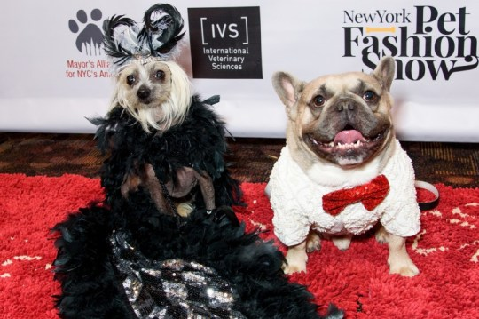 Two dogs wearing a gown and suit at the New York Pet Fashion Show