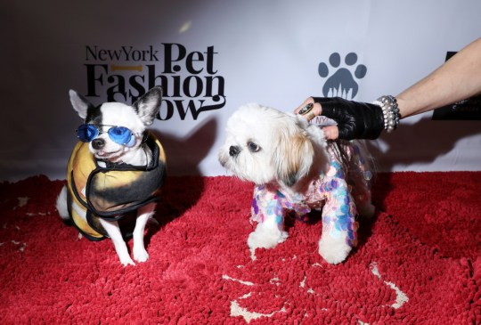 Two dogs on the red carpet at New York Pet Fashion Show