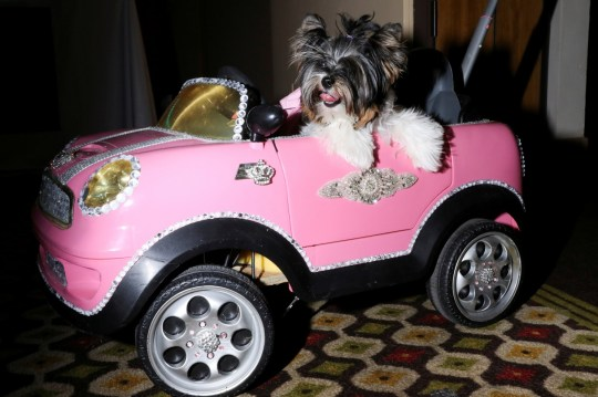 A dog sits in a toy car at the 17th annual New York Pet Fashion Show