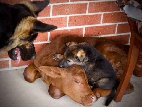 Orphaned calf thinks he's a dog after being rescued by German Shepherd family