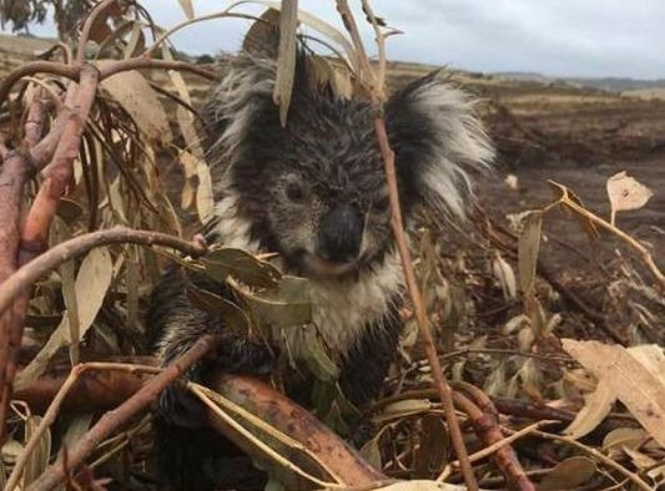 Koalas killed in their trees after loggers bulldoze plantation