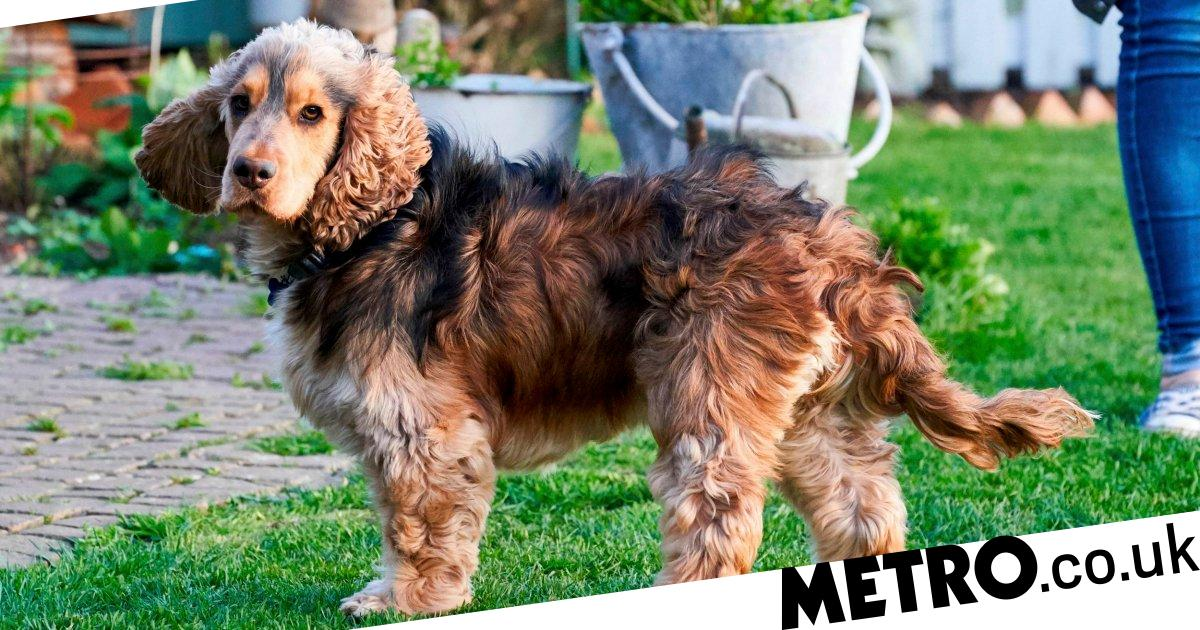 Naughty dog Hugo escapes from his family home over 270 times