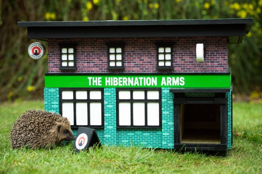 Hedgehogs attending the opening of The Hibernation Arms, Twickenham, 31st January 2020