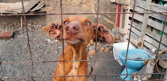 Pic Shows: The dogs that were found; These shocking images show five half-starved dogs that were found abandoned and covered in mites on the tourist island of Tenerife.