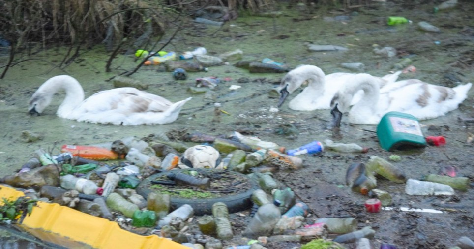 Three swans struggle through refuse in Sankey Canal, near Warrington, capturing the shocking human plastic waste that has sparked outrage.TRIANGLE NEWS 0203 176 5581 // contact@trianglenews.co.ukBy Liam McInerneyTHREE swans are forced to battle their way through mountains of rubbish in a canal captured in shocking photos that have sparked outrage.The graceful birds struggled to get past the mass of litter and waste floating on the surface of the water.It included plastic bottles, drink cans and even a football.
