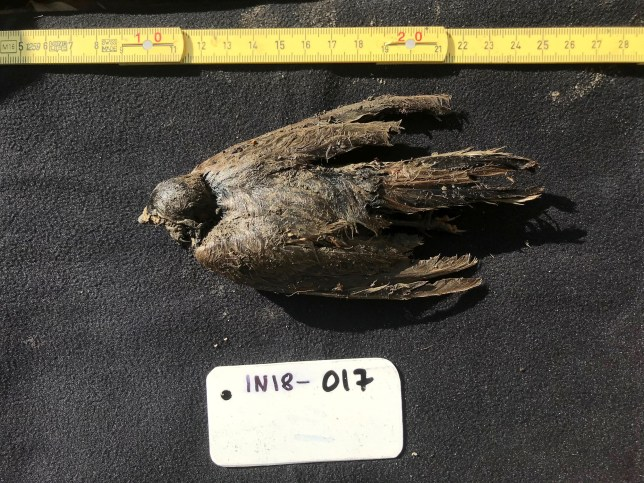 PIC FROM Kennedy News/Love Dal??n (PICTURED: THE 46,000-YEAR-OLD 'ICEBIRD' SOON AFTER IT WAS FOUND IN AN ICE TUNNEL IN SIBERIA) This 46,000-year-old 'icebird' was so well preserved that fossil hunters mistook it for an unfortunate creature that 'died yesterday' - only to realise they had found the first ever ice age bird. Love Dal??n was on an expedition with local fossil ivory hunters inside an ice tunnel mined in Siberia when they handed him the prehistoric creature. The corpse was so well preserved, the dad-of-one originally thought it must have flown into the tunnel last winter and died when it became lost. DISCLAIMER: While Kennedy News and Media uses its best endeavours to establish the copyright and authenticity of all pictures supplied, it accepts no liability for any damage, loss or legal action caused by the use of images supplied and the publication of images is solely at your discretion. SEE KENNEDY NEWS COPY - 0161 697 4266