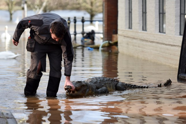 Pics by Caters News - (PICTURED: The crocodile was put out by the bins to be taken away but had to be moved inside as it was terrifying people walking by.) It was a petrifying moment for one shocked hotel manager as he spotted what initially looks like a crocodile, resting peacefully on the flood-hit front of his business. The remarkably realistic crocodile model appears to have floated down stream - but gave a much needed light-hearted moment for those working to clean the devastation left by Storm Dennis. Richard Hill, manager of Browns at the Quay, 53, from Worcester, initially thought the croc had escaped from the local safari - providing a heart stopping moment of fear - but on closer inspection, saw that it was actually a fibre glass model, presumably garden decor.