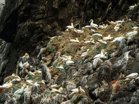Shocking photo shows gannet nests 'overflowing with fishing debris'