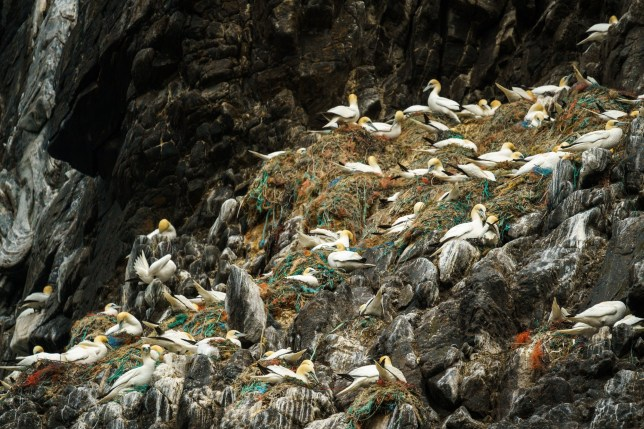 ***5PM EMBARGO*** A photo of gannets using discarded nets and ropes to build their nests highlights the increasing problem of plastic pollution on marine life. The image was 'highly commended' in the 2020 Underwater Photographer of the Year competition. Dr. Simon J Pierce, a principal scientist at the Marine Megafauna Foundation and wildlife photographer for Nature Tripper, captured the image at Runde Island, off the southern coast of Norway. The island is a seasonal home to over half a million seabirds, including the northern gannets he was there to photograph. ?We were bouncing around in a small boat, so it was tough to compose a photo. I could see some colour among the gannets? nests on the cliff, and I was pretty sure there weren?t supposed to be bright colours in seabird nests, so I bumped my shutter speed up and hoped for the best. When I downloaded the pictures to my computer later, I just gasped. The nests were overflowing with fishing debris,? says Pierce. Gannets normally build their nests from seaweed and grass floating on the ocean?s surface near the island. Increasingly, the seabirds are using discarded netting, ropes, and packaging straps from fisheries instead. This fishing waste seems to be becoming more common than the natural materials they instinctively gather. A recent survey at Runde Island found that 97% of nests contained man-made debris. Newborn chicks, and even adult gannets, are routinely entangled and killed in these tough and non-biodegradable materials.