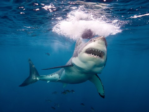 Study into Great white sharks' diet reveals surprising eating habits