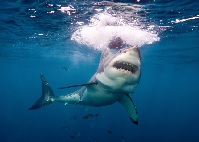 Great white sharks don't spend as much time at the surface as we thought  (Credits: Getty Images/Image Source)