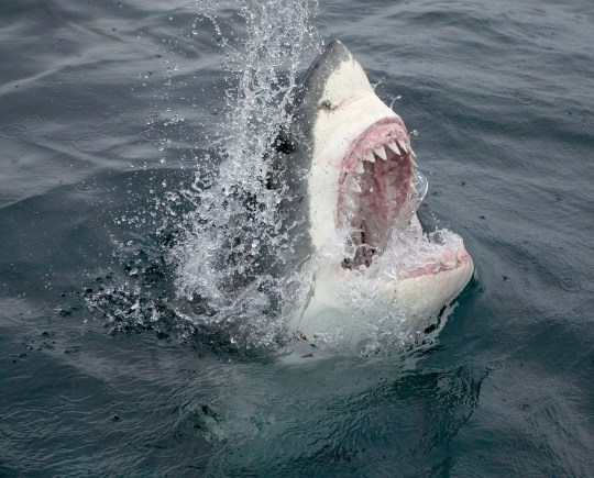 Great white sharks have been characterised as vicious man-eaters since Jaws  (Credits: Getty Images)