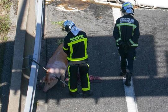 NOTA DELL'EDITORE: Contenuto grafico / I vigili del fuoco stanno vicino a un maiale dopo che un camion che trasportava 170 maiali è stato rovesciato in un incidente stradale sull'autostrada A6 a Las Rozas, vicino a Madrid, il 24 febbraio 2020 (foto di Dani Sanchez / AFP) (foto di DANI SANCHEZ / AFP via Getty Images)