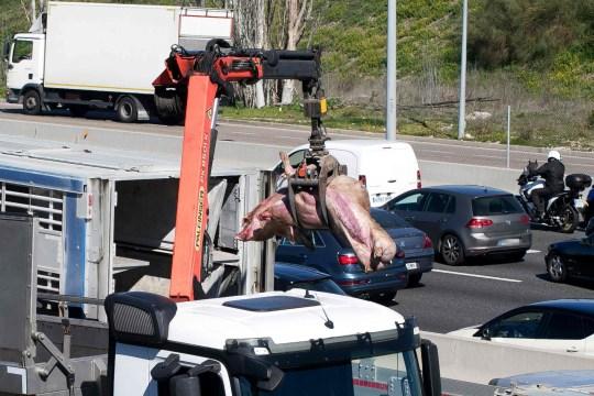 NOTA DELL'EDITORE: Contenuto grafico / Una gru solleva i maiali dopo che un camion che trasportava 170 maiali si è rovesciato in un incidente stradale sull'autostrada A6 a Las Rozas, vicino a Madrid, il 24 febbraio 2020. (Foto di Dani Sanchez / AFP) (Foto di DANI SANCHEZ / AFP via Getty Images)