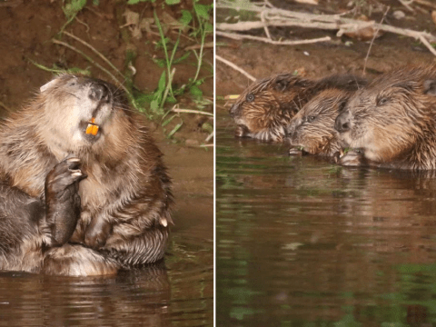 Beavers could hold the answer to reducing flooding, study finds