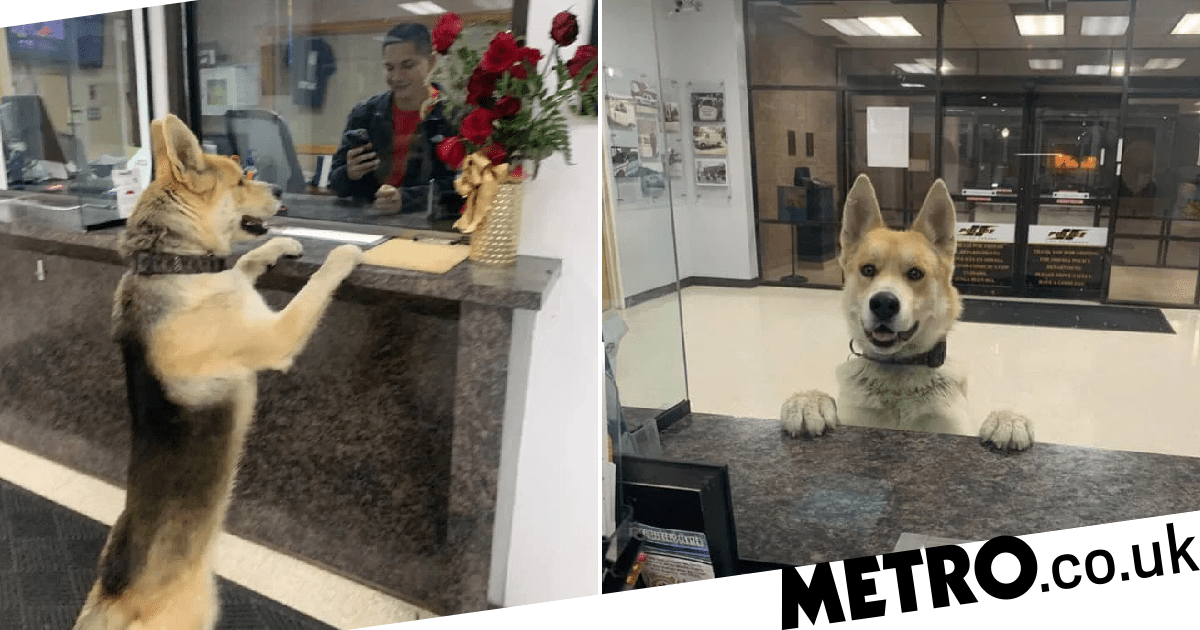 Lost dog hands himself in to police