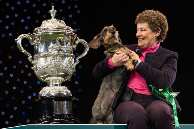 Maisie the Wire Haired Dachshund, winner of Best in Show at the Crufts