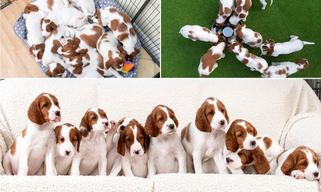 Composite image of red and white setter puppies
