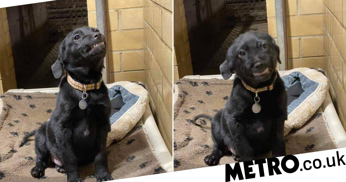 Adorable black labrador tries to get adopted by smiling at visitors to animal shelter