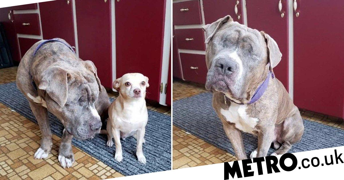Blind dog Devito needs a home after being left to fend for himself and eat roadkill to survive