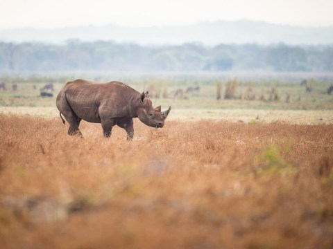 Conservation victory as number of African black rhinos increases by 2.5%
