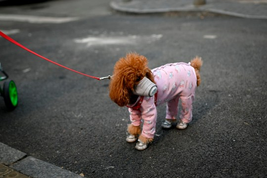 A dog wears a mask over its mouth on a street in Beijing on February 13, 2020. - The number of deaths and new cases from China's COVID-19 coronavirus outbreak spiked dramatically on February 13 after authorities changed the way they count infections in a move that will likely fuel speculation that the severity of the outbreak has been under-reported. (Photo by WANG ZHAO / AFP) (Photo by WANG ZHAO/AFP via Getty Images)