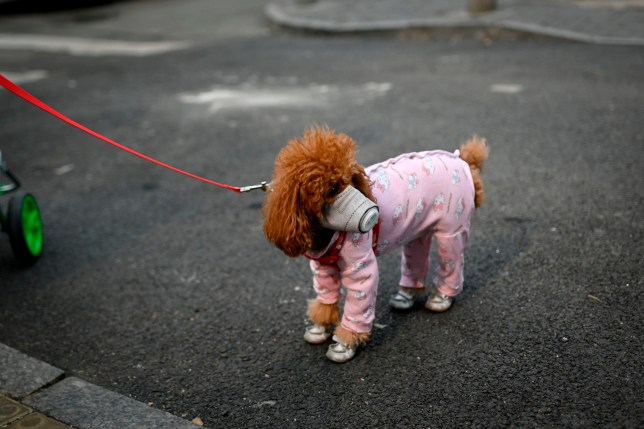 A dog wears a mask over its mouth on a street in Beijing on February
