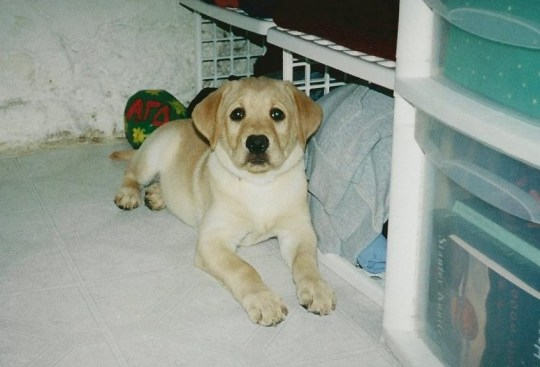 David and Alicia Tschirhart's original dog Marley. See SWNS story SWNYziggy. A family paid a whopping $50,000 to CLONE their heroic dog who saved its pregnant owner from a rattlesnake. David and Alicia Tschirhart decided to genetically duplicate their beloved Labrador retriever Marley after the pooch passed away just months after saving Alicia from a venomous snake. The couple preserved Marley?s DNA but waited five years to clone the hound as they wanted their children Madeleine, five, and Colette, three, to be old enough to appreciate a dog. The family, of San Diego, California, welcomed Ziggy, now four months, in December, and were astonished by how similar the canine was to the original Marley.