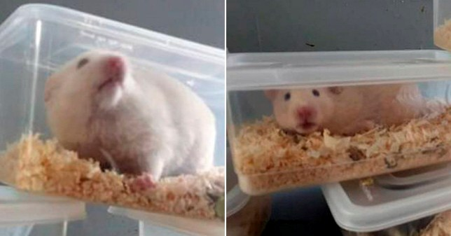 Dated: 03/03/20 Twenty hamsters have been rescued after being stuffed into takeaway food containers and dumped in a back alley in Darlington. See North News story