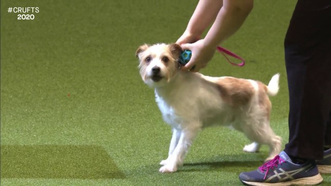 Loveable rescue dog and viral sensation, Olly the Jack Russell, returns to Crufts for final time