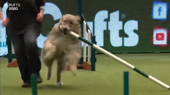 Kratu the rescue dog who is terrible at agility is back at Crufts 2020 - and this time he's running off with a pole
