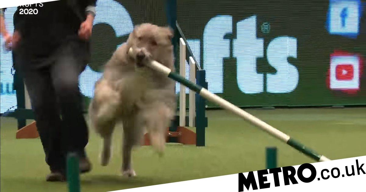 Kratu the rescue dog who is rubbish at Crufts is back for 2020