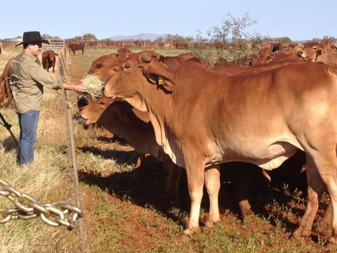 Australians are trying to stop cows farting methane to save the planet