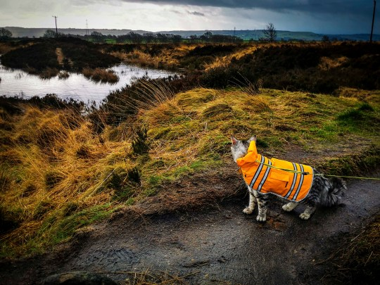 PIC BY @the.good.cat/MERCURY PRESS (PICTURED ARLO AT NORLAND MOOR) A cat that loves nothing more than going on hour-long dog walks with his canine pals leaves onlookers stunned as he takes on mountainous terrain on a lead. Maine Coon-Tabby cross, Arlo, is just nine months old but has been trekking around the countryside in his hometown of Halifax, West Yorks, since he was a kitten. His owners, Crissy Lister, 29, and Marc Shaw, 31, first discovered his love of the outdoors when they took him to Scafell Pike, in August last year, and have even set up an Instagram page for the fearless feline who joins their dogs, Lexi, a two year old Lurcher and Callie, a three year old Cavalier on their adventures across some of the countys most beautiful scenes. SEE MERCURY COPY.