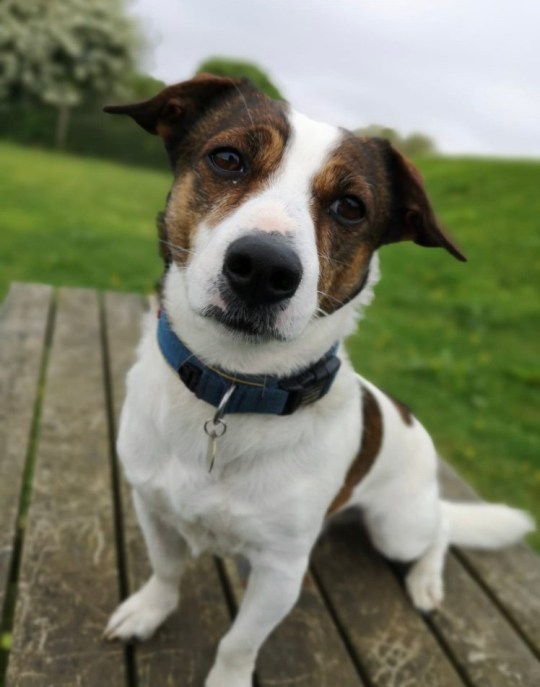 Picture: NATIONAL ANIMAL WELFARE TRUST Smithy finally has a home Rescue dog Smithy re-homed after four years at Hayle shelter