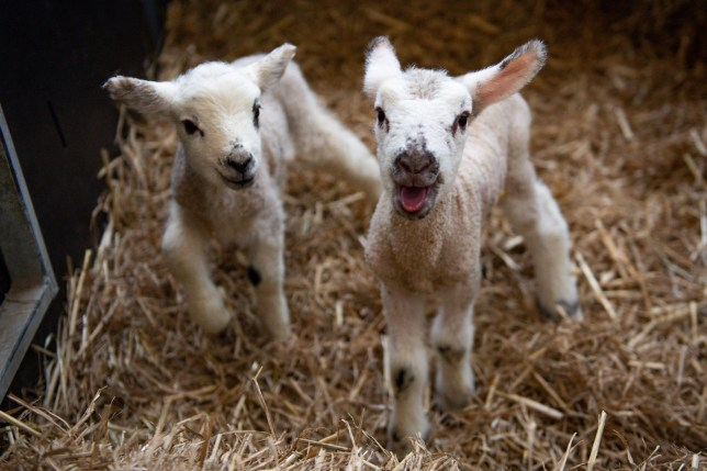 Spring Lambs at Moreton Morrell College in Warwickshire. PA Photo. Picture date: Wednesday March 18, 2020. See PA story ANIMALS Lambs. Photo credit should read: Jacob King/PA Wire