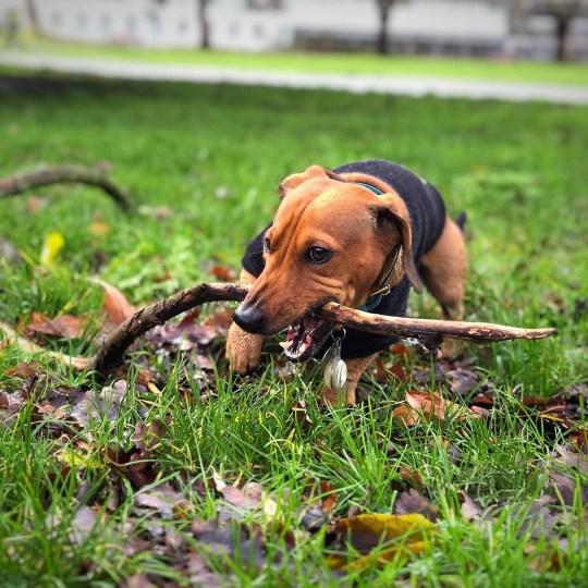 Sausage dog absolutely loves big sticks