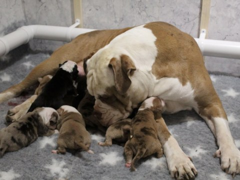Super dog gives birth to 20 puppies in one litter