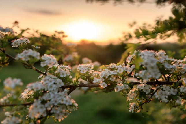 Springtime blossom branch in front of a sunset sky
