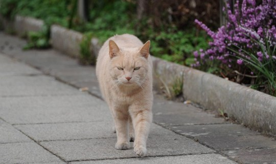 Yang the cat, who is boosting morale among patients at Hexham General Hospital, in Northumberland, by regularly travelling alone from his home a mile away to spend time with the patients and staff, much to the delight of owner Glynis Bell.