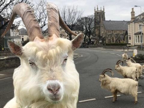 Mountain goats take over Welsh town in coronavirus lockdown