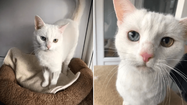 penny the deaf cat with different eyes